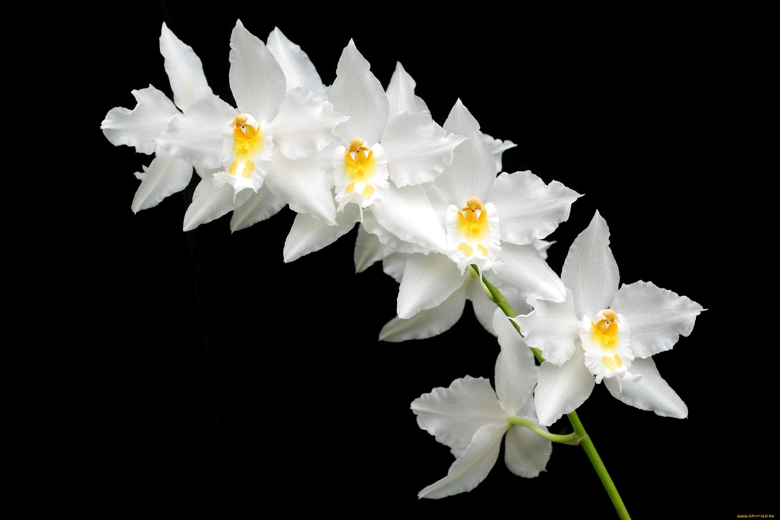 Цветы орхидеи обои для рабочего стола